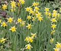 Daffodils Please!